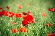 Wild red poppy flowers in meadow in high grass