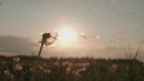 Blowing Dandelion Seeds,slow motion