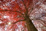Blutbuche, Rotbuche mit Sonnenstern - 111882292