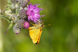A large skipper feeding on a thistle
