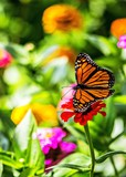 Monarch butterfly perched on flower in garden