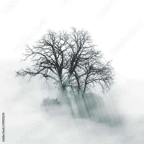 Lone Tree silhouette in foggy morning - 111920234
