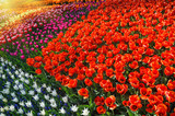 Flower bed with multicolor tulips