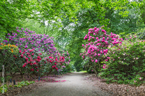 Fotobehang Azalea Blooming Rhododendrons in a public park