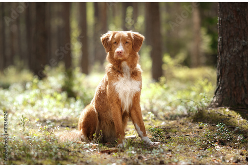 Poster Dog Nova Scotia Duck Tolling Retriever walking in summer park