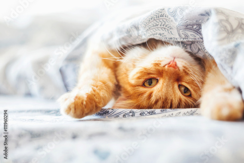 Plakat Cute ginger cat lying in bed under a blanket. Fluffy pet comfortably settled to sleep. Cozy home background with funny pet.