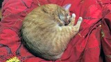 Beautiful red cat sleeps circle on a red bed