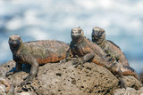 Marine Iguana on Galapagos Islands