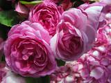 Damask rose - 111991882