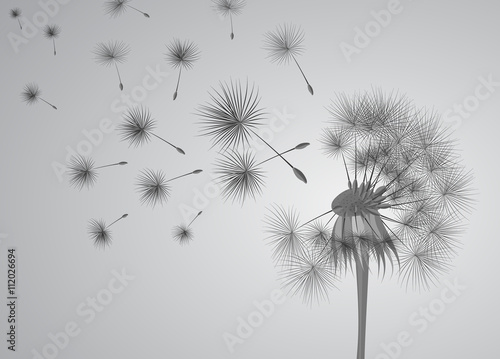 dandelion on grey background. Flying spores. Concept of wishing, tenderness and summer time. - 112026694