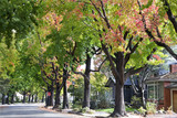 Fototapety Tall Liquid ambar, commonly called sweetgum tree, or American Sweet gum tree, lining an older neighborhood in Northern California
