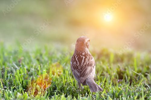 fototapeta na ścianę bird on grass watching the sun