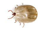beetle mite on a white background
