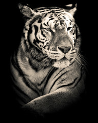 tiger black and white portrait  © UMB-O