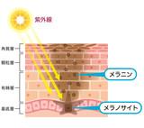 肌の仕組み シミ メラニン