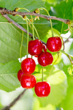 Sour cherries growing on the sour cherry tree
