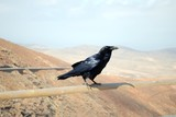 corvo nero - 112163647