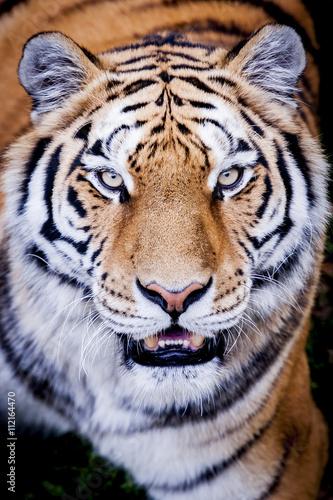 Poster Portrait de tigre