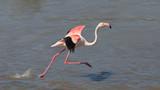 Running greater flamingo (Phoenicopterus roseus), Camargue, France