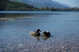 Anatre di lago - 112200836