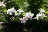 fiori di melo - 112200861