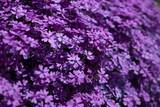 fiori di campo viola - 112200882