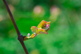 Flower of grape
