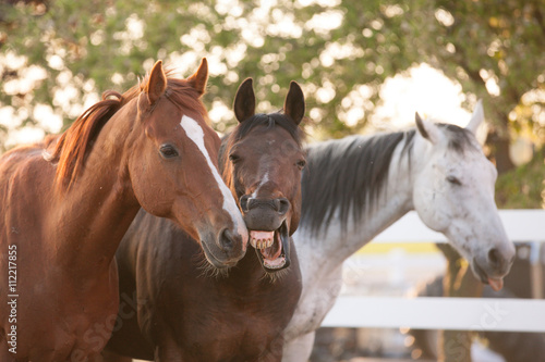 Zdjęcia na płótnie, fototapety, obrazy : Three horses standing together by a white fence with one yawning.