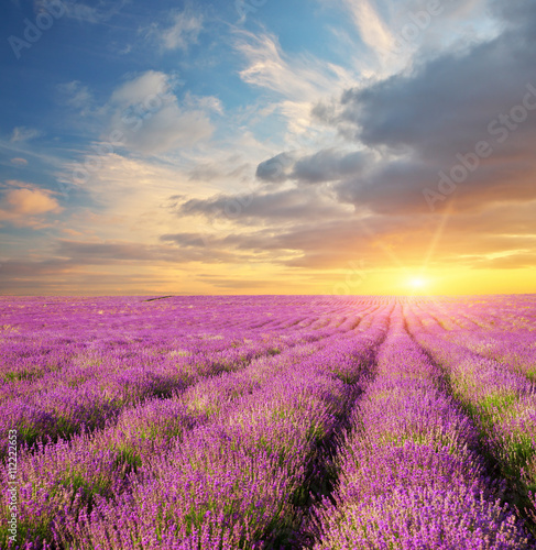 Fototapeta Lavender beautiful meadow.