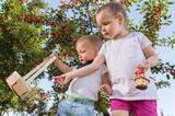 Kids picking cherry