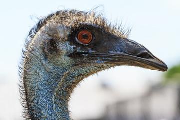 Ostrich portrait Emu
