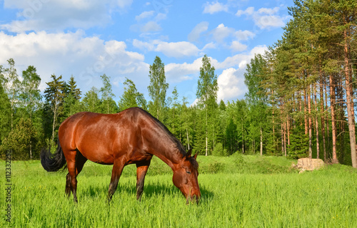 Brown horse grazing on green meadow