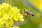 Honey Bee Pollinating - 112353063