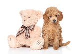 Poodle puppy with toy on white background