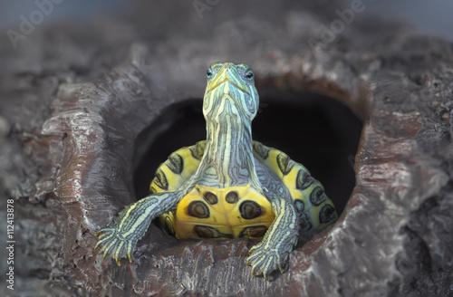 Fotobehang Schildpad Turtle on a rock