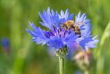 Honigbiene (Apis mellifera) auf der Blüte einer blauen Kornblume (Centaurea cyanus)