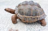 tortue des Seychelles sur la route