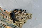 Hirondelles, bébés dans le nid - 112449475
