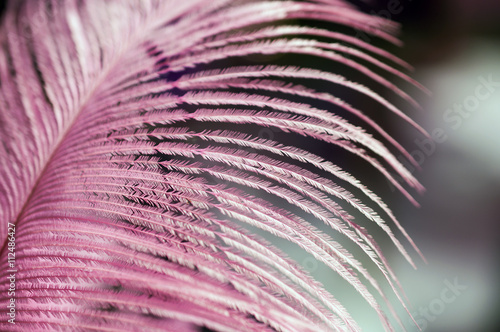 Pink feather - macro