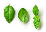 Fototapety fresh green basil leaves