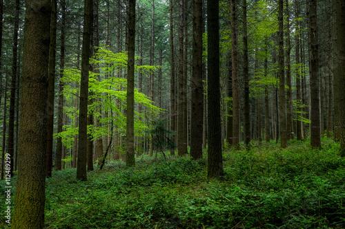 un arbre sous la lumière dans une forêt - 112489299