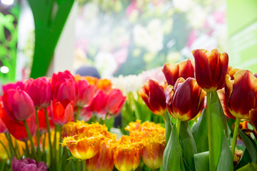 Tulips om the field