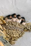Petites hirondelles dans le nid - 112508010