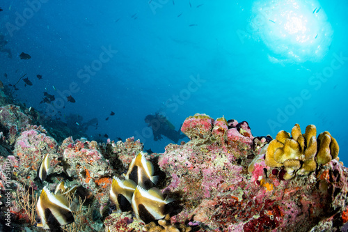 butterfly fish while scuba diving in maldives