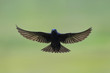 A male Purple Martin flying in front of a smooth green background of marsh grass.