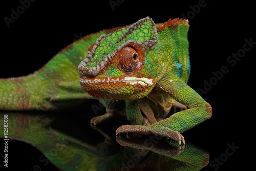Foto op Aluminium Panter Sneaking Panther Chameleon, reptile with colorful body on Black Mirror, Isolated Background