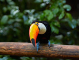 Toucan on the branch in tropical forest of Brazil - 112604469