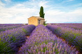 Fototapety Provence, Lavender field with flowers in Valensole Plateau