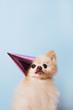 funny litllte dog at blue background