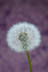 Dandelion with purple background